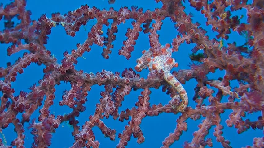 Two Pink Pygmy seahorses on gorgonian coral