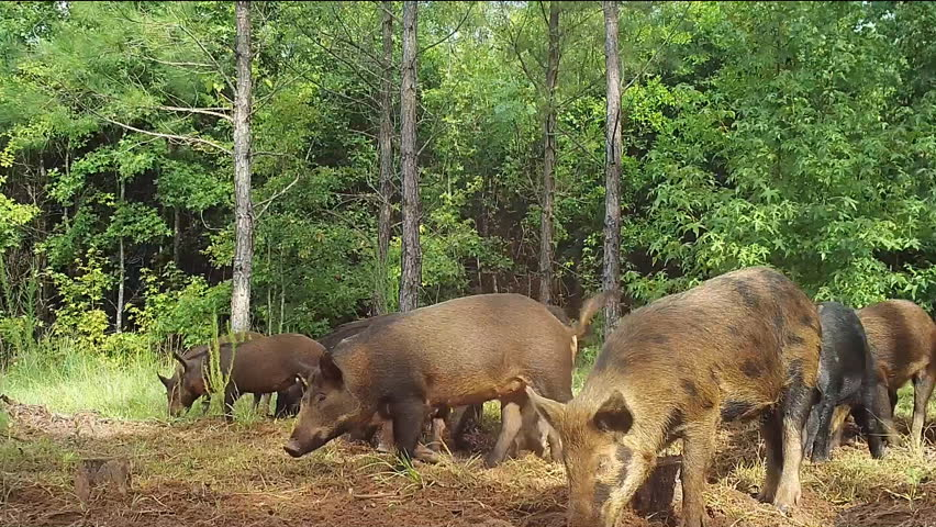 Wild Boar (Sus scrofa) or wild pigs, leaving Georgia swamp to raid farmer's field. Very destructive invasive species which damages many native species and agricultural crops