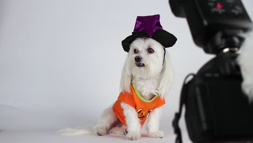 adorable maltese dog poses in halloween costume while another dog paw close up snaps pictures sets off flash in this funny pet photo shoot 1080p hd