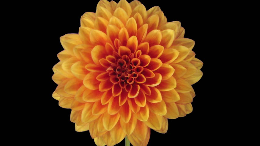 Time-lapse of growing and opening orange dahlia (georgine) flower 8a3 in RGB + ALPHA matte format isolated on black background