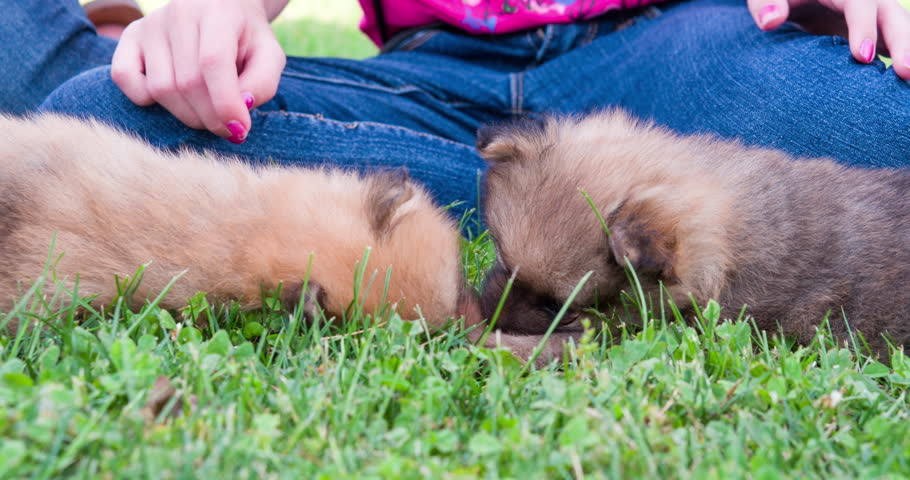 Two chow chow puppies laying in grass together 4k