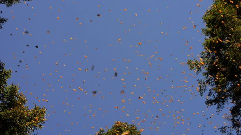 Monarch butterfly migrate winter Mexico Oyamel tree forest before returning to United States North America
