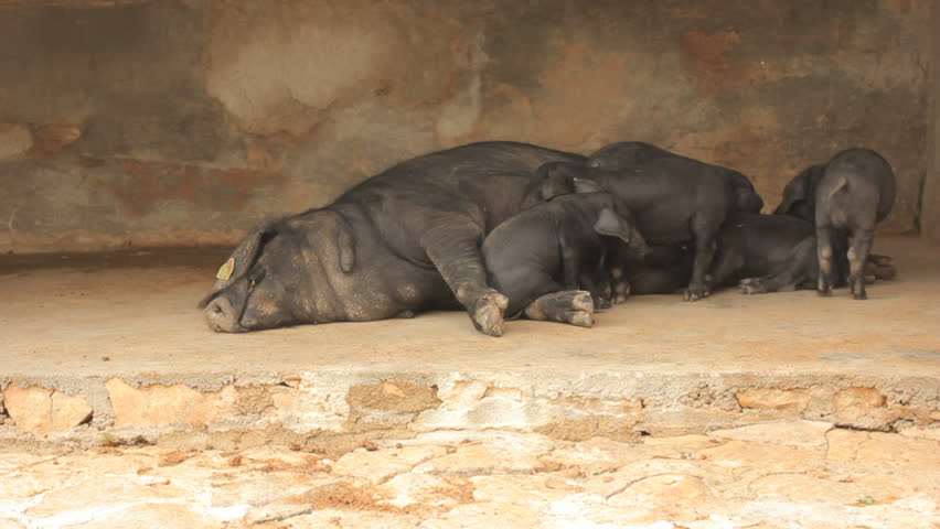 Piglets looking for the right position on their mother's teats