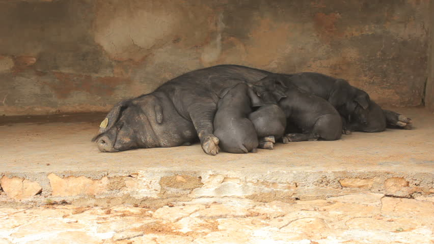Piglets sleeping after being fed