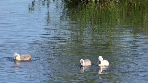 swan cygnets swimming in the lake and search feed