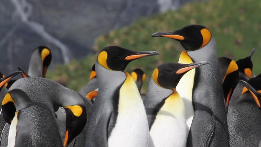 KIng penguins Colony  Pan shot of KIng Penguins Colony walking
