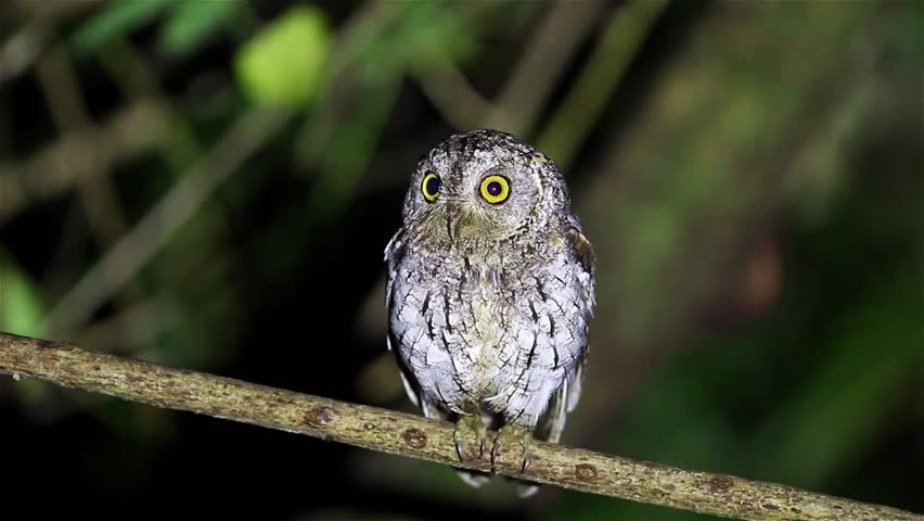 Oriental Scops Owl(Otus sunia) catch on the branch in night time in nature at Kaengkracharn national park,Thailand