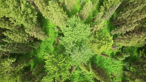 Aerial video of Glacier National Park. Forest.