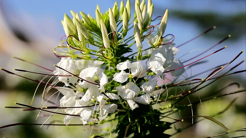 White Spider Flower Cleome Spinosa Stock Footage Video 100