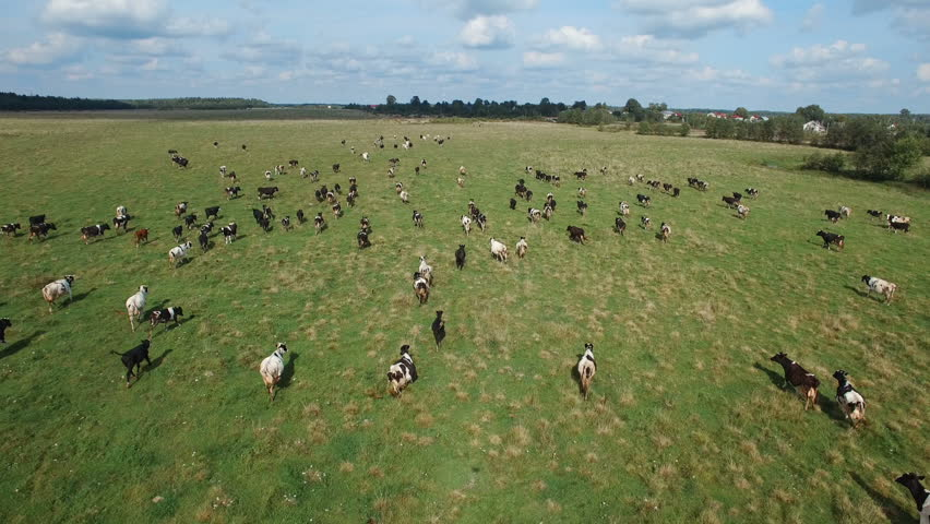 aerial view of herd of cows at summer green field in Russia