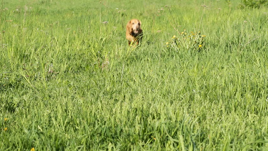 Cocker Spaniel running on a green meadow