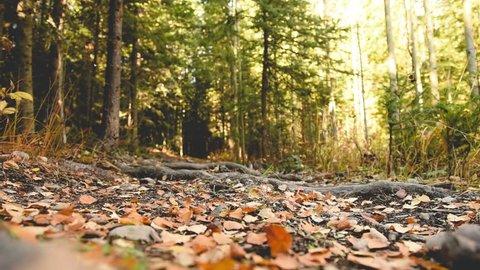 Weimaraner dog playfully runs towards owner on autumn nature path