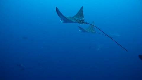 Two  spotted eagle ray (Aetobatus narinari) swimming in the water  column, Indian Ocean, Maldives