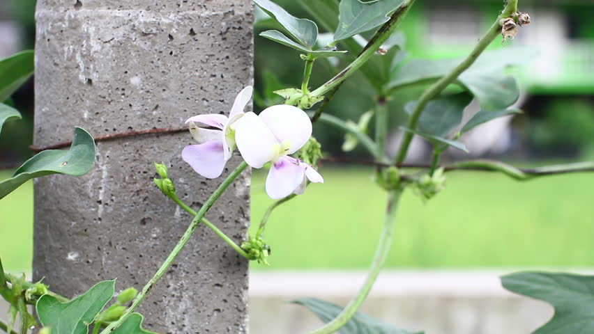 Yardlong bean (Vigna unguiculata ssp. sesquipedalis). The crisp, tender pods are eaten both fresh and cooked. #12165425