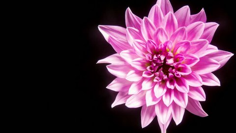 Time lapse - Blooming Pink Dahlia Flower