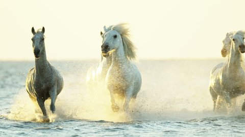 Cowboy Camargue rider animal horse sunset grey livestock nature France guardian Mediterranean sea galloping marshland freedom RED DRAGON