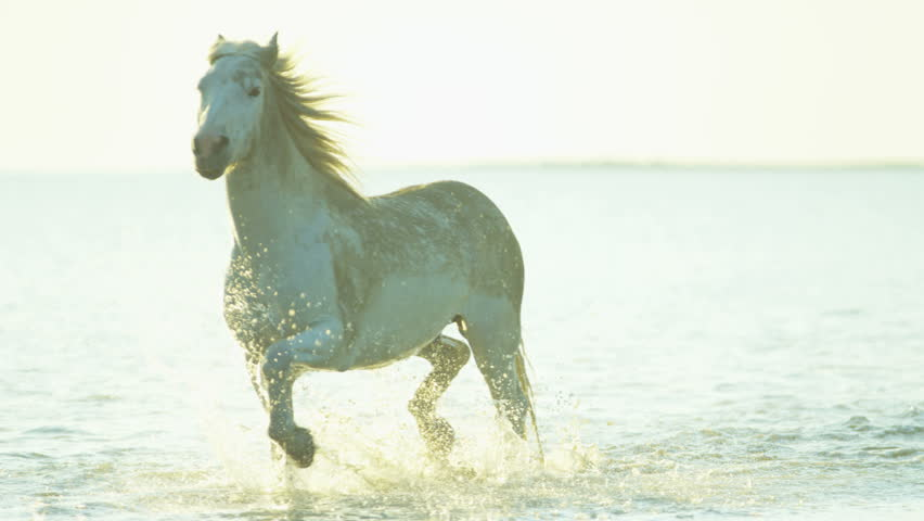 Cowboy Camargue rider animal horse sunset grey livestock nature France guardian Mediterranean sea galloping marshland freedom RED DRAGON | Shutterstock HD Video #12292787