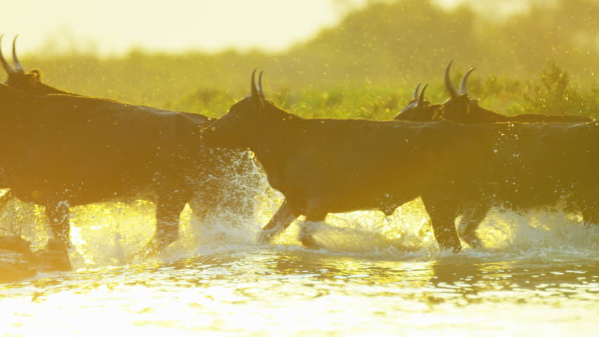 Camargue bull animal wildlife black cow charge charging outdoor running marshland water France charge charging freedom travel RED DRAGON