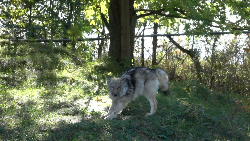 Gray Wolf Stretches - Super Slow Motion HD #12293597