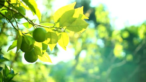 green lime tree growing fresh citrus