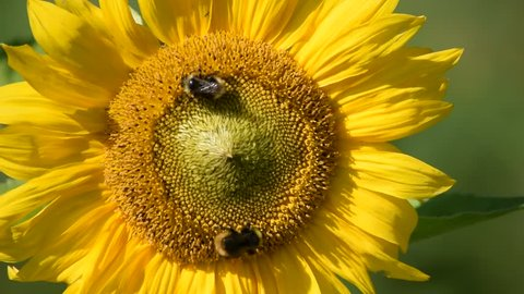Sunflower and Bumblebees on Organic Homestead, Smallholding
