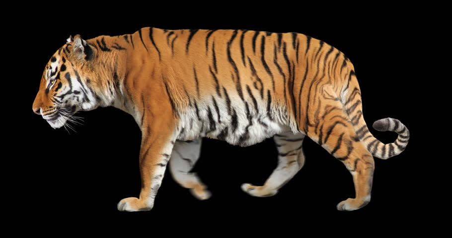 Tiger walking. Isolated and cyclic animation.