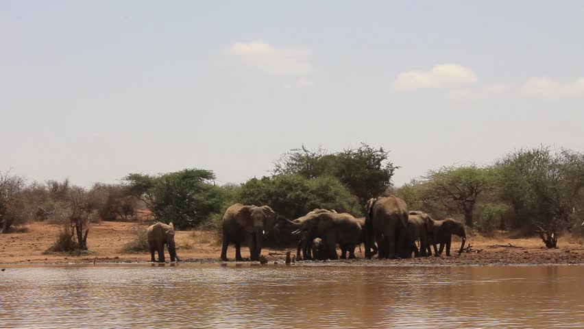 Herd of African Elephants drinking | Shutterstock HD Video #12406937