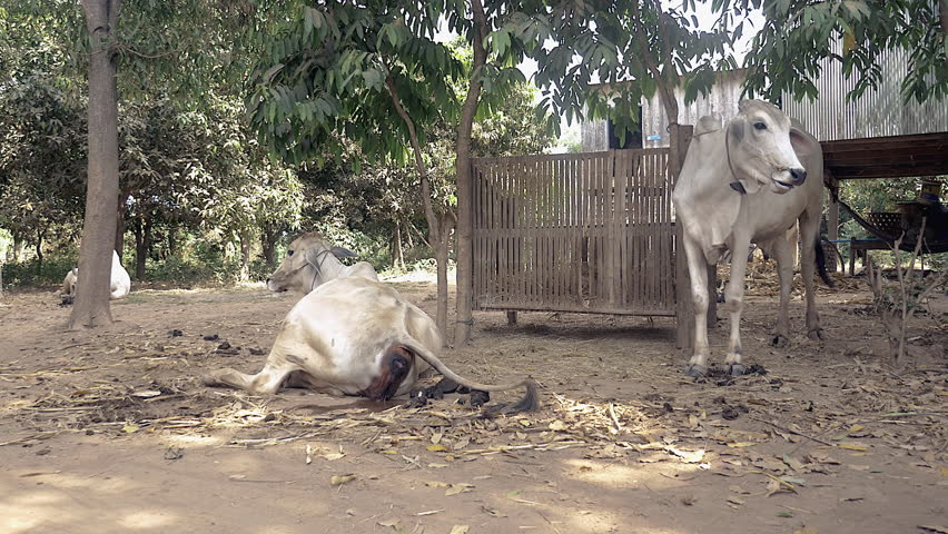 White cow lying on the ground of a farmyard showing signs of calving