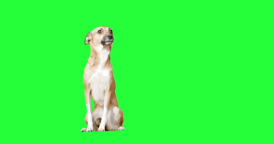 Dog on green screen