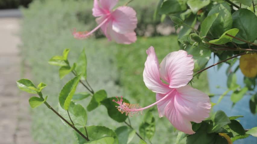 Video Stock A Tema Pink Rosa Mallow Hibiscus Rosa Sinensis 100