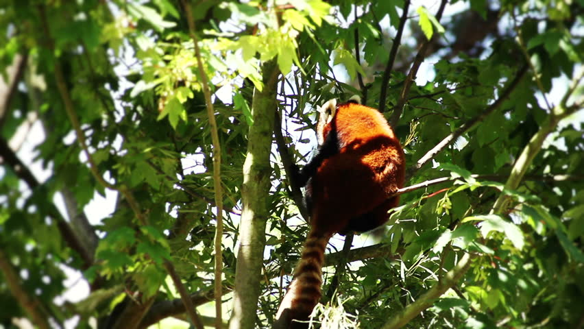 Red Panda eating bamboo (HQ 1080P)