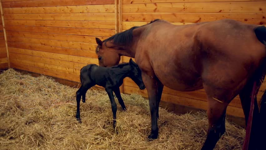 Foal learning to stand for first time in stables