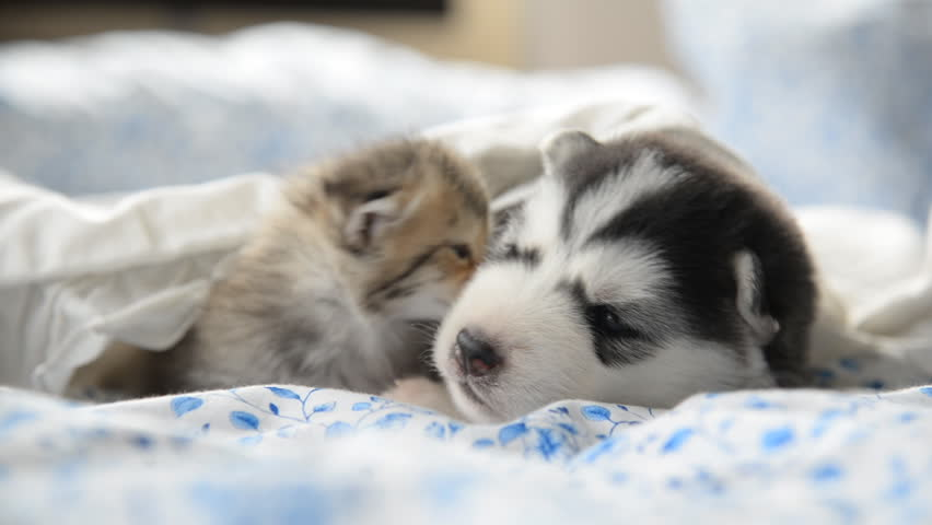 Cute tabby kitten and siberian husky playing on the bed | Shutterstock HD Video #12731657