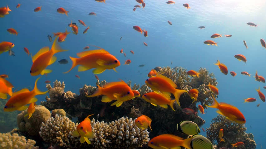 colorful fish on coral reef, Red sea