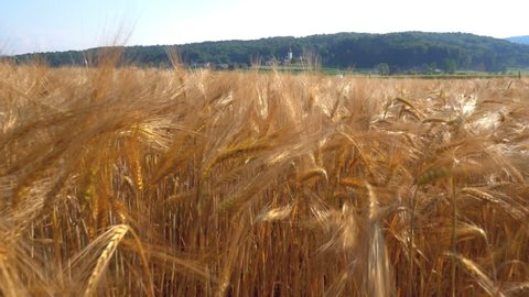 Aerial - Wheat field. Seed heads swaying in a breeze