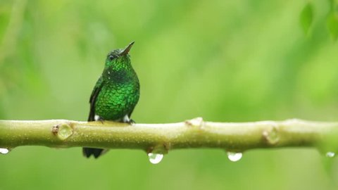 Grenn hummingbird in the rain, Colombia