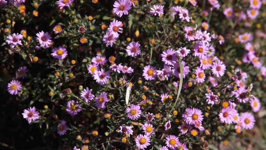 Butterfly on purple daisy flower