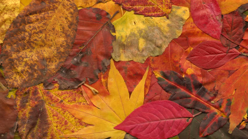 Colorful autumn leaves composition panning and scanning | Shutterstock HD Video #12908867