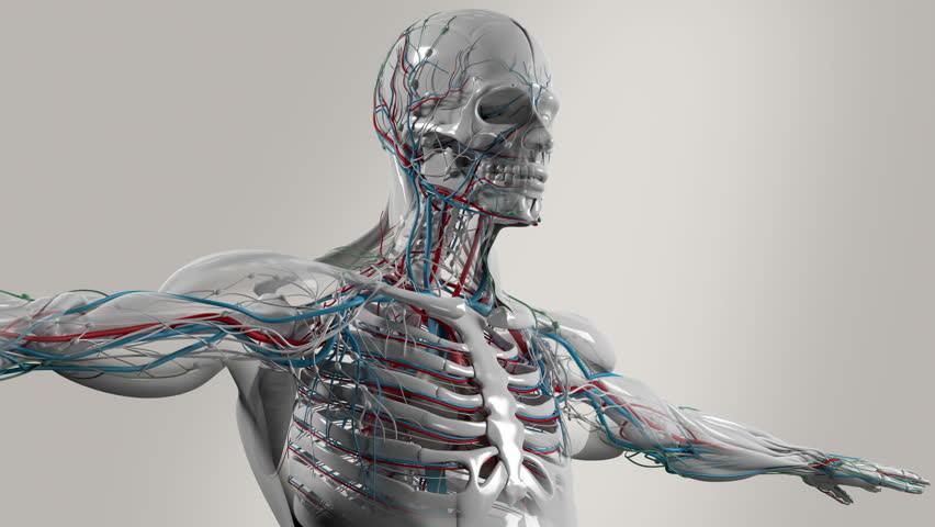 Human Anatomy Male Torso And Stock Footage Video 100 Royalty