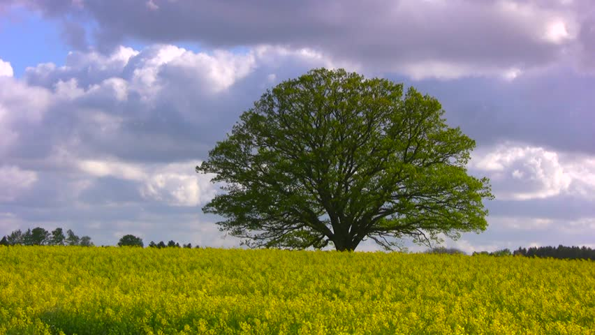 Big, old oak tree (common oak, English oak, Quercus robur) in a blooming yellow rapeseed field against violent bluish spring clouds on a stormy afternoon.