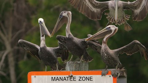 Group of pelicans perched on manatee zone sign in wetlands area as another pelican lands in slow motion