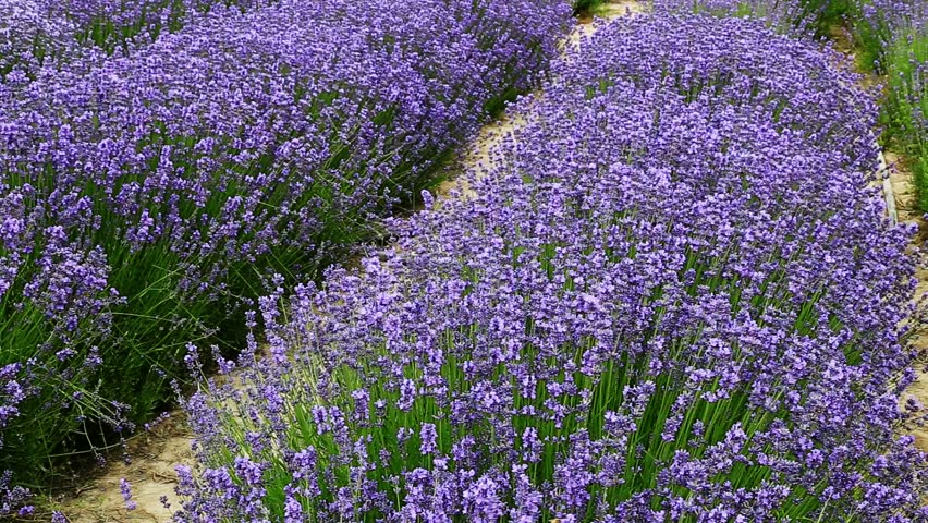 common lavender lavandula angustifolia 39 hidcote blue. Black Bedroom Furniture Sets. Home Design Ideas