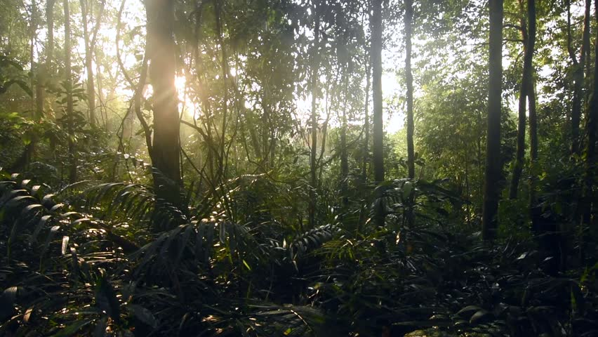 Master still shot dense green foliage under tree canopy in tropical Amazon jungle and morning sun with sound