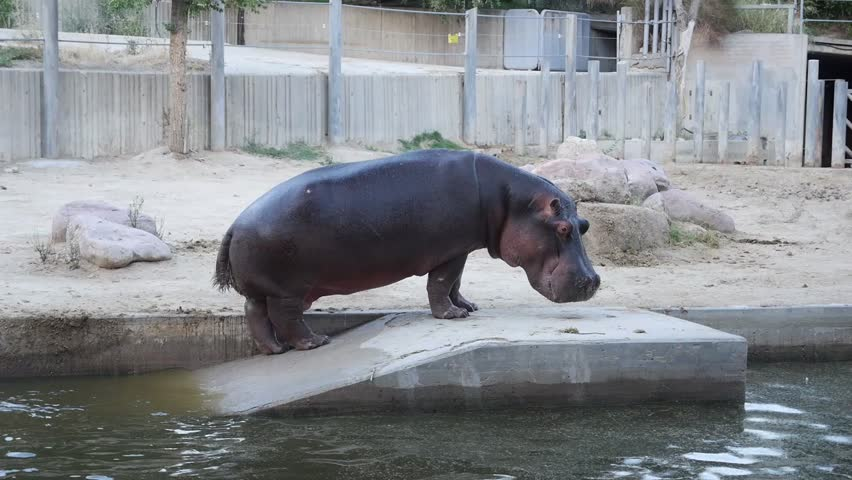 hippo pooping