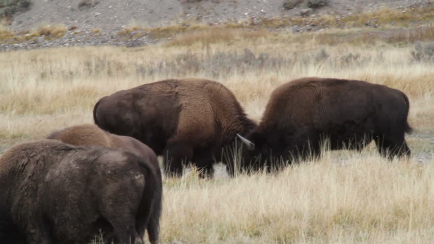 Two Bison Butting Heads Together In A Fight
