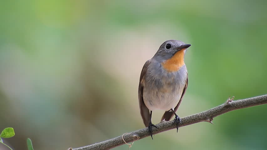 Bird Red-throated Flycatcher (Ficedula albicilla) eating a worm in tropical forests   | Shutterstock HD Video #13108697