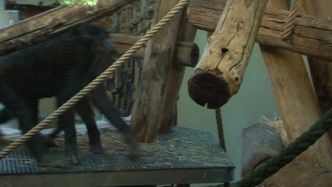 Bonobo monkeys climbing in the zoo