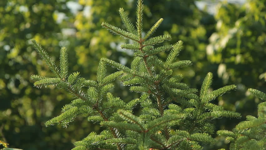 Header of Norway Spruce