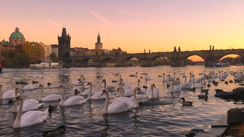 Charles bridge in Prague city, Czech Republic, Europe. Famous old town architecture landmark over river Vltava at sunset sky. Urban tourism cityscape, panorama view of Praha town history, swans, tower