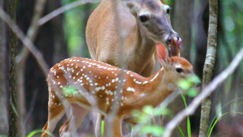 Whitetail Deer (Odocoileus virginianus) fawn being cleaned by it's mother.